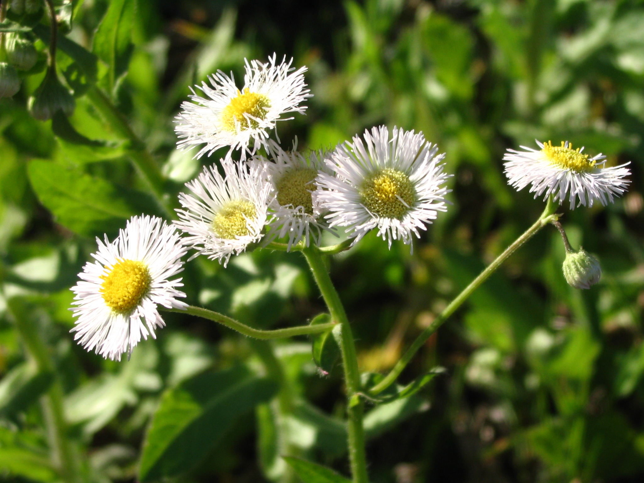 Nigeness A Good Year For The Daisies