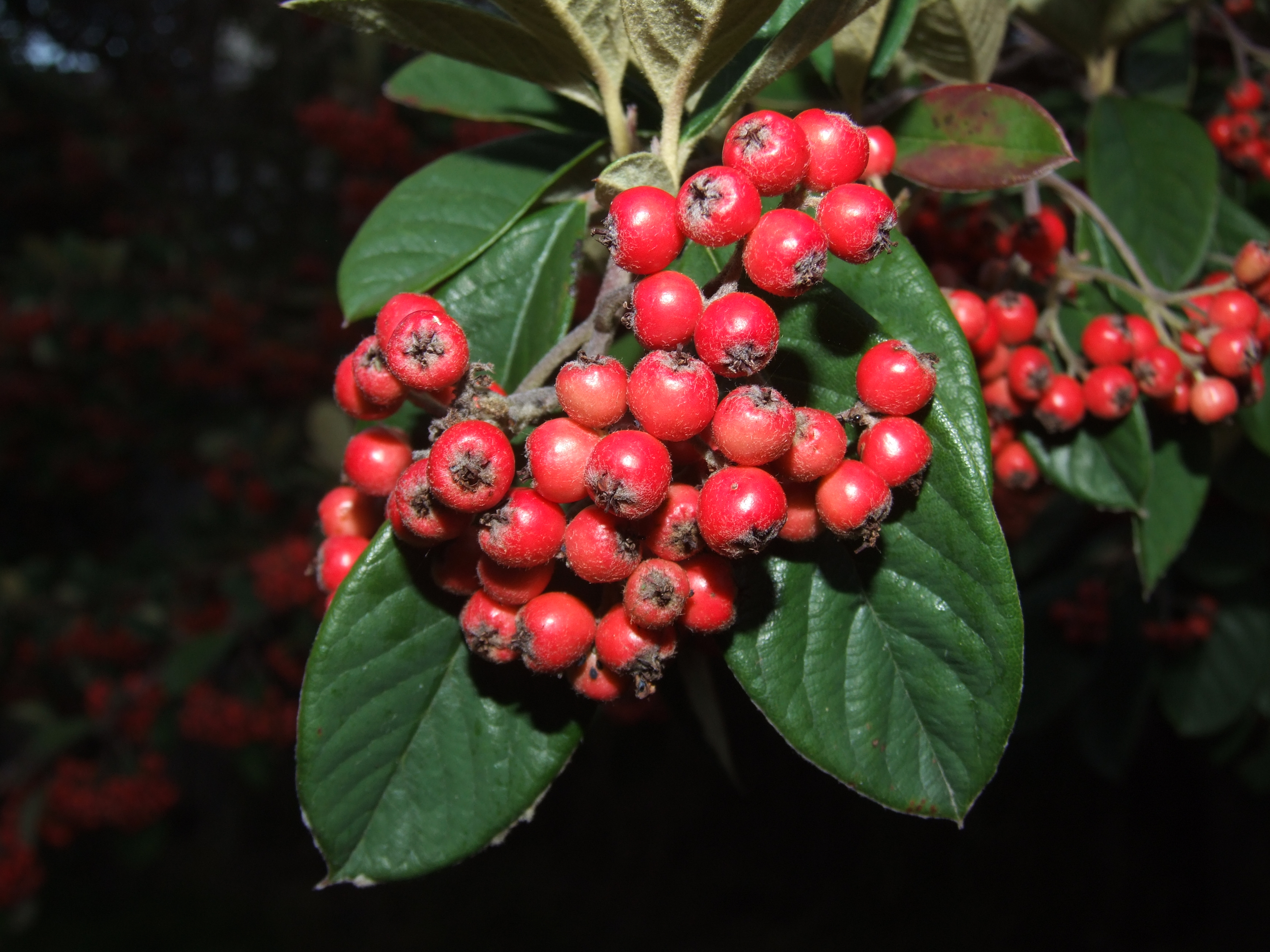 how to get berries leaf green